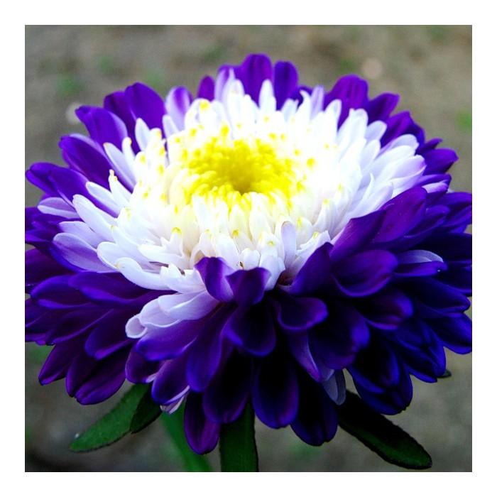 Цветок Астра Превосходный Ракли, сем…